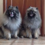 Породные щенки вольфшпица (кеесхонда), Великий Новгород